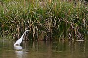 Great Egret (Ardea alba) stalking prey at White Rock Lake, Dallas, Texas