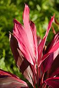 Ti plant, Poipu, Kauai, Hawaii