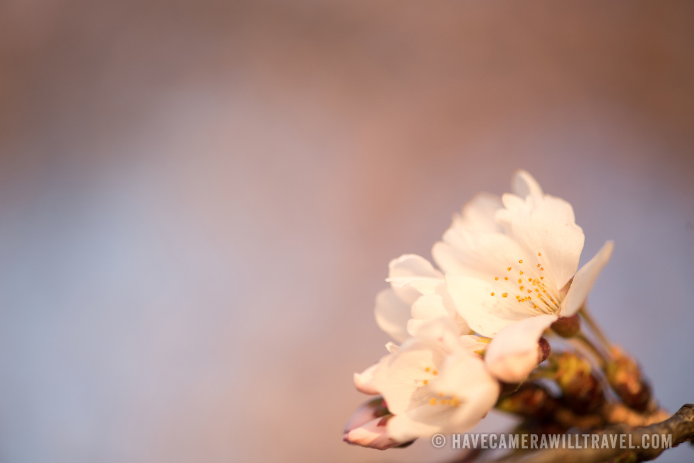 WASHINGTON DC--A close-up shot of some of the famous Yoshino cherry blossoms around the Tidal Basin in Washington DC.