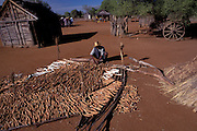 A farmer gathers his crop harvest of cassava (Manihoc)in a small village towards Betioky,in the Southern Desert.