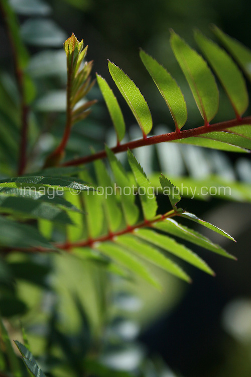 Rowan tree leaves