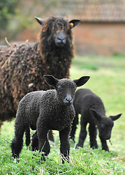 © licensed to London News Pictures. HATFIELD, UK  14/04/11. Very rare Newborn Wensleydale lambs at Hatfield House today (Thurs). Eight lambs have been born in total at the new Hatfield Park Farm days before opening to the public for the first time. Black Wensleydale sheep are down to only 64 ewes in the UK and these eight are a very welcome addition to the breeding program. The Breed was established in 1832. Hatfield Park Farm opens on 16th April It covers an area of 25 acres. Please see special instructions. Photo credit should read Stephen Simpson/LNP