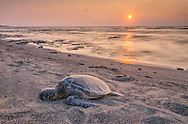 USA, Hawaii, Big Island, Kona, Kaloko-Honokohau Natl hist park, sea turtle on beach,
