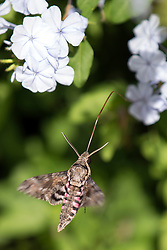 A Hawaiian Sphinx moth uses its long proboscis to drink nectar out of flowers in Paia, Hi., Sunday, Jan. 21, 2018. (Photo by D. Ross Cameron)