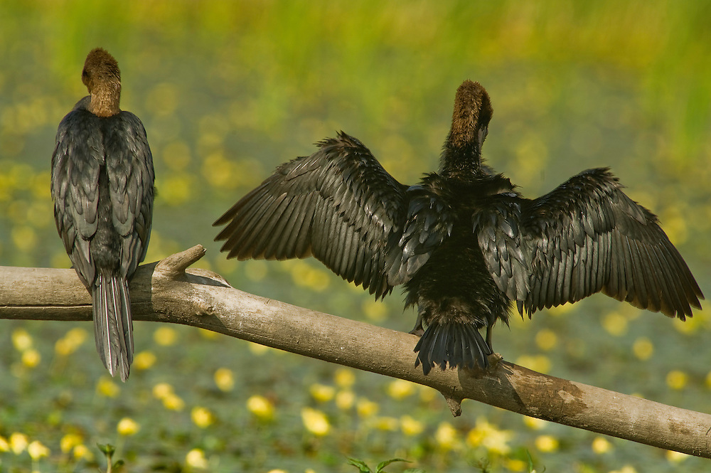 Two Pygmy Cormorant (Phalacrocorax pygmeus) in Hortobagy National Park, Hungary