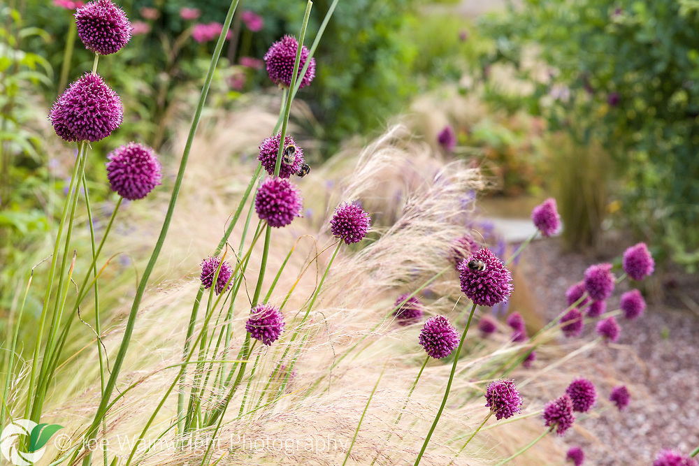 Allium sphaerocephalon combined with grasses, in the walled garden at Cogshall Grange, Cheshire. Photographed in July