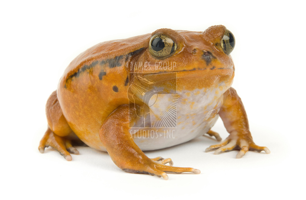 Orange tropical frog on a white background