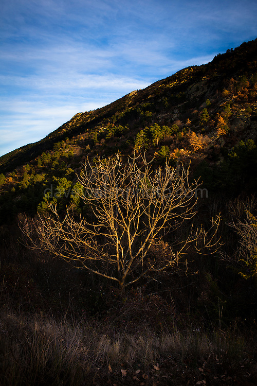 Tree, above Taurinya, in the French Pyrenees Orientales.