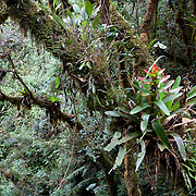 Bromeliads growing on trees near the canopy walkway at Wayqecha Biological Reserve on the Eastern slopes of the Peruvian Andes. Cloud forest at 2950 meters elevation. The reserve is managed by the Amazon Conservation Association and the Asociación para la Conservación de la Cuenca Amazónica.