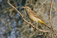 Palm Warbler - Setophaga palmarum - adult