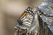 A monarch butterflies rests on a tree stump at an over-winter site in the El Rosario Monarch Butterfly Preserve near Ocampo, Michoacan, Mexico. The monarch butterfly migration is a phenomenon across North America, where the butterflies migrates each autumn to overwintering sites in Central Mexico.