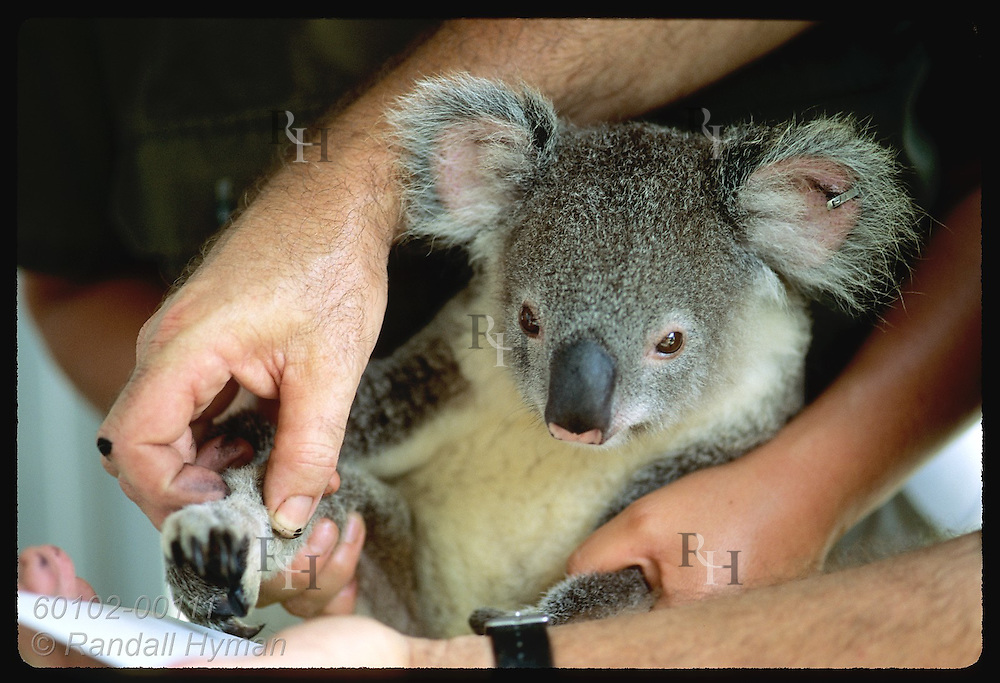 Biologists' hands surround year-old koala as it's fingerprinted @ Univrsity of Queensland;Brisbane Australia