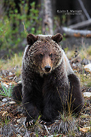 Quill, the orphaned two year-old cub of Dawn, in the spring of 2012 in Banff National Park, Alberta, Canada
