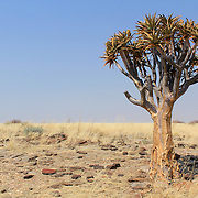 Quiver tree (Aloe dichotoma) in the Namib desert landscape. Namibia