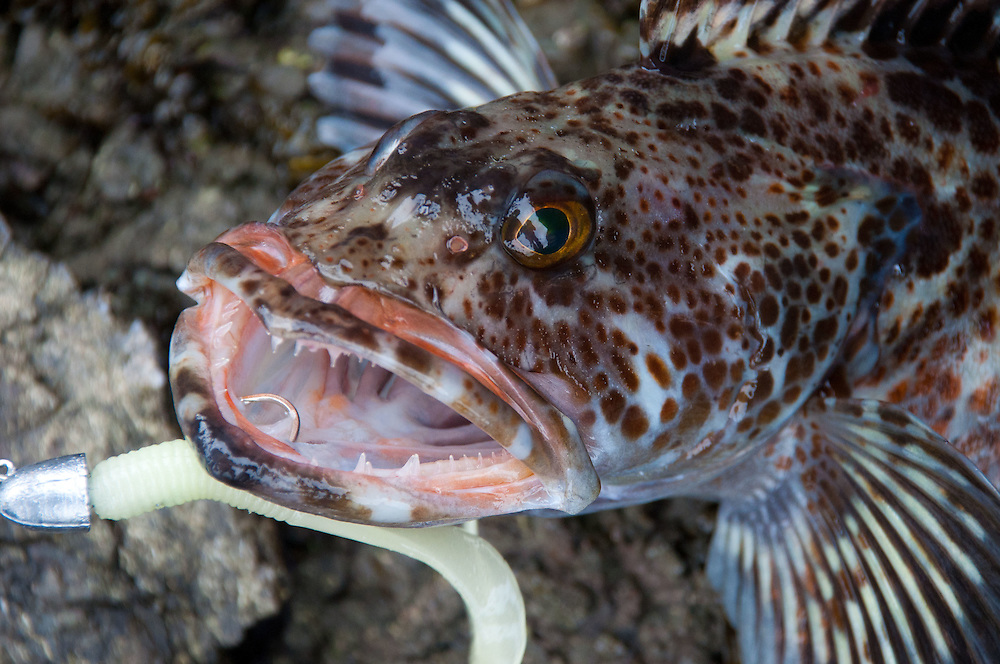 Ling Cod (Ophiodon elongatus) With Lure, Shaw Island, Washington, US