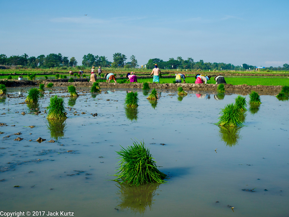 "21 NOVEMBER 2017 - MAUBIN, AYEYARWADY REGION, MYANMAR: Workers plant baby rice in a paddy in the Ayeyarwady  Delta. Myanmar is the world's sixth largest rice producer and more than half of Myanmar's arable land is used for rice cultivation. The Ayeyarwady Delta is the most important rice growing region and is sometimes called ""Myanmar's Granary."" The UN Food and Agriculture Organization (FAO) is predicting that the 2017 harvest will increase over 2016 and that exports will surge to 1.8 million tonnes.   PHOTO BY JACK KURTZ"