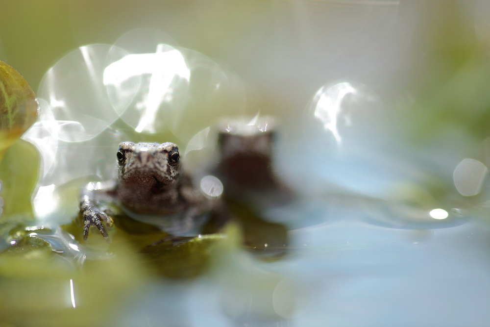 European Green Toad, Bufo viridis. Emerging toadlets.<br /> Stenje region, Lake Macro Prespa (850m) <br /> Galicica National Park, Macedonia, June 2009<br /> Mission: Macedonia, Lake Macro Prespa /  Lake Ohrid, Transnational Park<br /> David Maitland / Wild Wonders of Europe