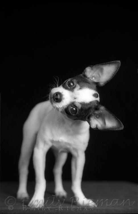 Chihuahua tilting head