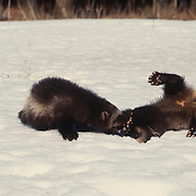 Wolverine, (Gulo gulo) Young kits playing together in snow. Rocky mountains. Montana.  Captive Animal.