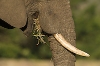 African Elephant chewing on grass, Gondwana Game Reserve, Western Province, South Africa