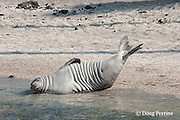 Hawaiian monk seal, Monachus schauinslandi( Critically Endangered ), 2.5 year old male (tags B18/B19) stretches and shows off its tags, Pu'uhonua o Honaunau ( City of Refuge ) National Historical Park, Kona, Hawaii ( the Big Island )