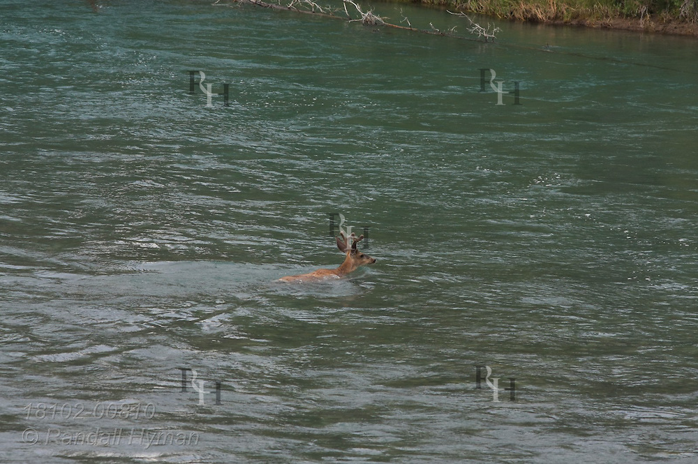 Mule deer buck (Odocoileus hemionus) swims across the Bow River in Banff National Park, Alberta, Canada.