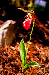 Pink lady slipper in Quetico Provincial Park, Canada.