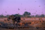 African elephant (Loxodonta africana) drinking at waterhole. Chobe NP, Botswana, Southern Africa