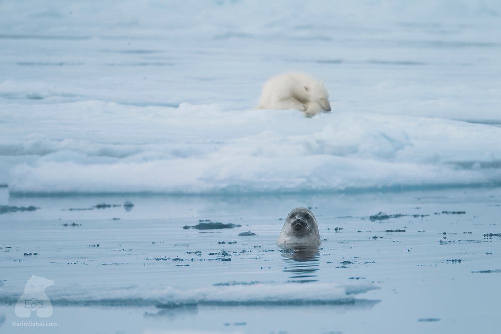 A ringed seal surfaces to catch a breath of air, near the island of Nordaustlandet in the High Arctic archipelago of Svalbard, unaware of the presence of a polar bear, its greatest predator. Although they are polar bears' main prey, ringed seals and most arctic animals face a greater danger: the gradual disappearance of Arctic sea ice due to climate change.