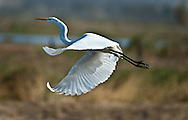 An egret takes flight in a rice field in Marysville, CA. November 1, 2011.