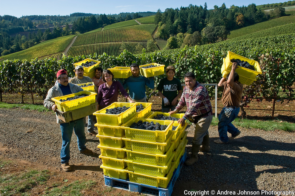 Harvesting pinot noir at Archery Summit's Arcus vineyard, Dundee Hills, Willamette Valley, Oregon
