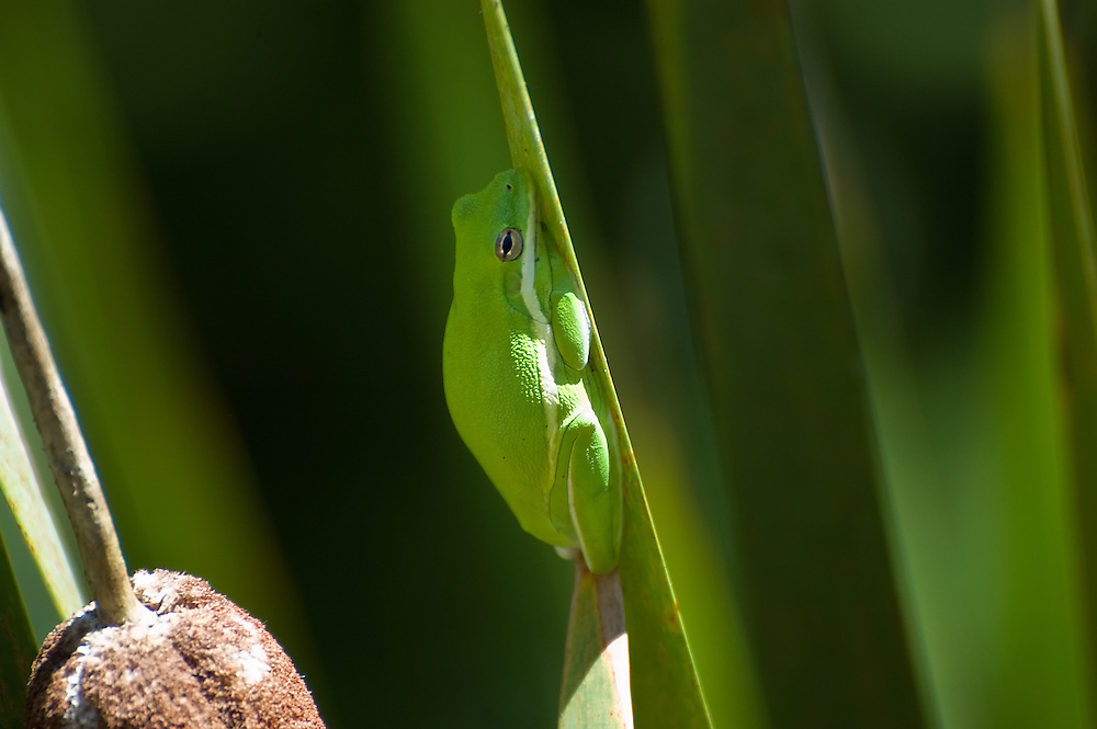 A well-fed green treefrog perfectly camouflaged among the cattails in a wetland in Sarasota County, Florida.