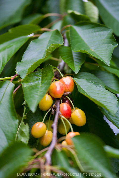 Ripening cherries on the tree.