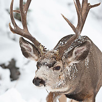 large trophy muledeer buck full frame winter snow, antlers non typical, atypical