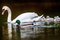 Swans and their cygnets' family group in the pond at Callender Park in Falkirk, Scotland.