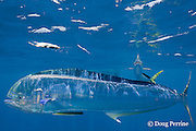 dorado, mahi mahi, or dolphin fish, Coryphaena hippurus, with small parasites clinging to skin, chasing teaser bait, off Isla Mujeres, near Cancun, Yucatan Peninsula, Mexico ( Caribbean Sea )
