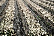 Nederland, Urk, 26-8-2016Uien worden geoogst op een akker in de noordoostpolder.Trekkers rijden naast elkaar om het landbouwproduct mechanisch binnen te halen.Foto: Flip Franssen
