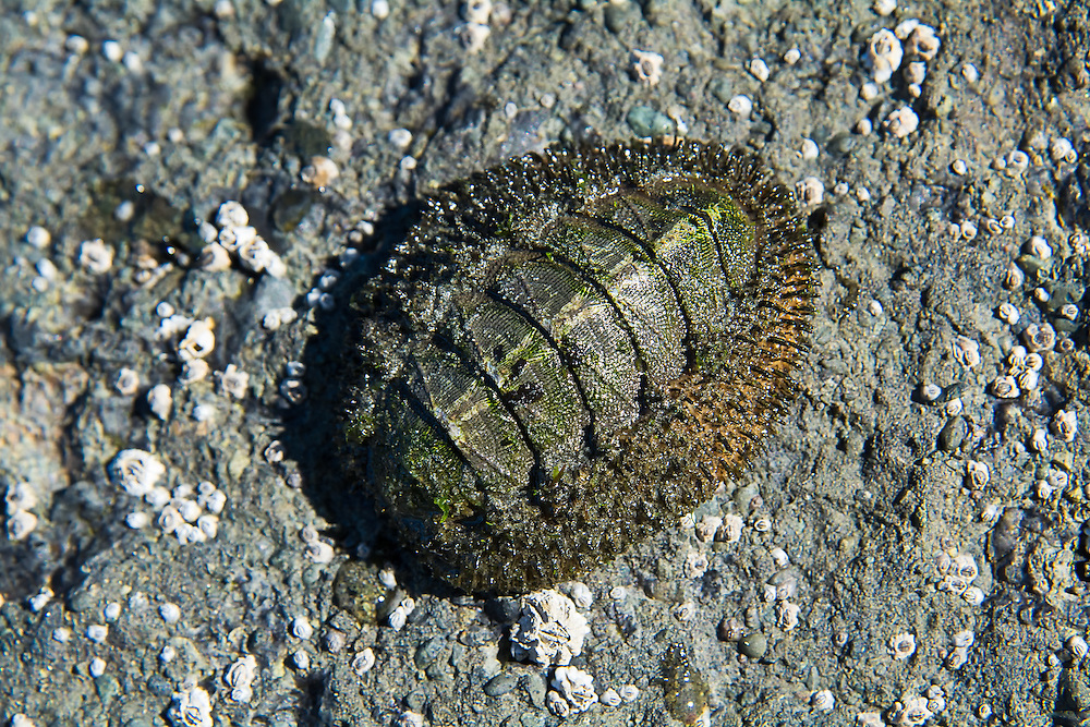 One of the many unusual and unique marine invertebrates of the Pacific Northwest, the mossy chiton is a nocturnal hunter of the intertidal zones of the rocky coastline. Recently, biologists have discovered that because they are sometimes above water, and sometimes underwater, their very primitive mineralized eyes have evolved in such a way that they can actually see images, and when they detect a predator coming close, they can react quickly and tighten their muscles, securing themselves to a rock or other hard surface, leaving them protected under their eight-pieced plated shells. This one was found high and dry at low tide near Neah Bay, Washington on the Olympic Peninsula.