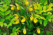 Yellow Lady's Slipper (Cypripedium parviflorum) orchid<br /> Riding Mountain National Park<br />