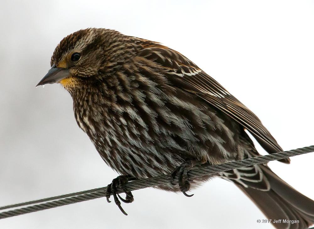 Wild song birds