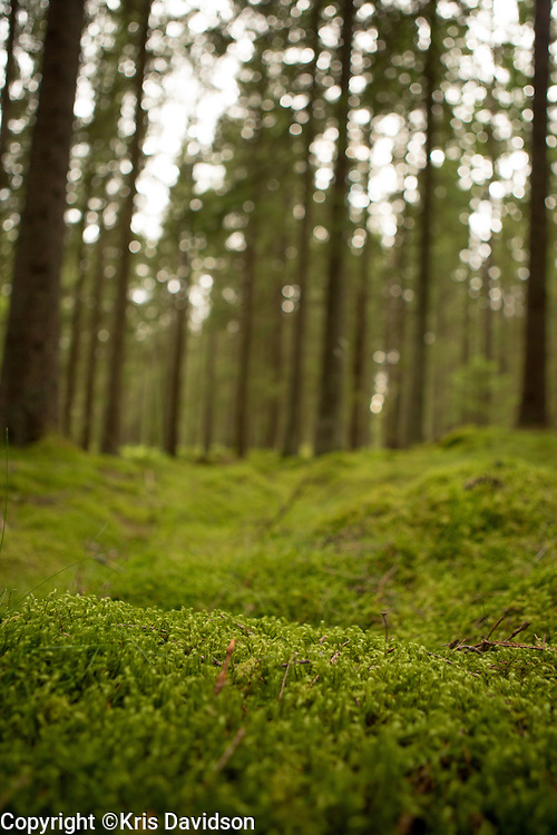 Moss-covered Swedish forest in the summertime.