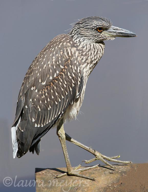 Black-crowned Night-heron juvenile