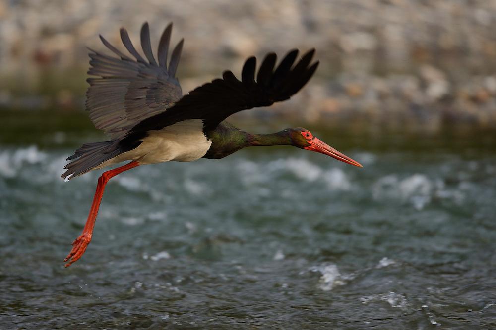Black stork, Ciconia nigra, Arda river valley, Madzharovo, Eastern Rhodope mountains, Bulgaria