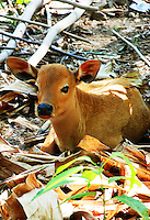 A cute calf sitting quietly in a banana forest in Bali, Indonesia.