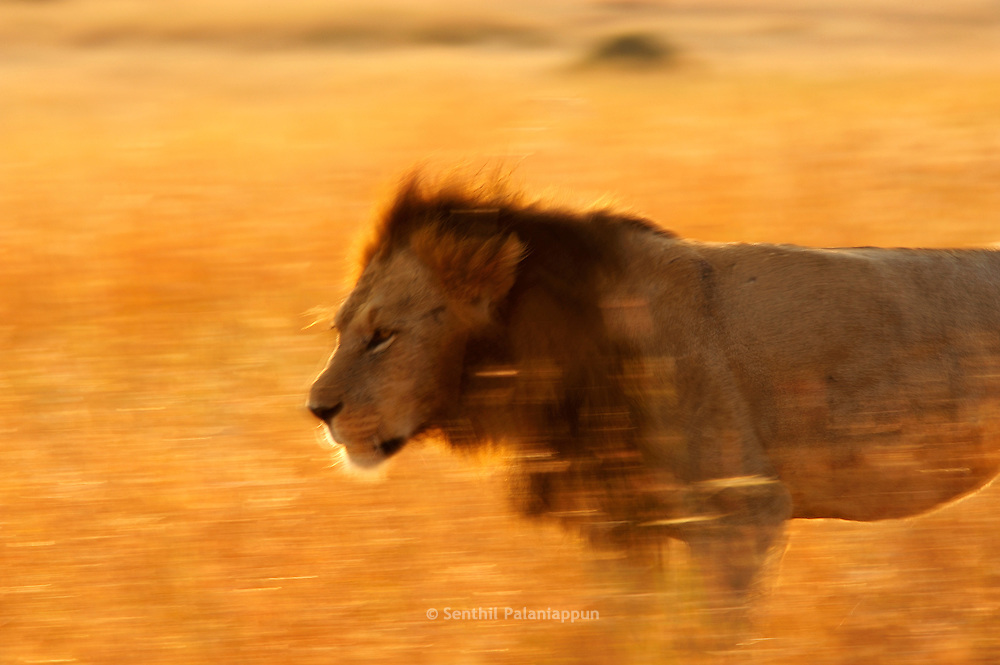 Male lion walking at dawn, Masai Mara, Kenya