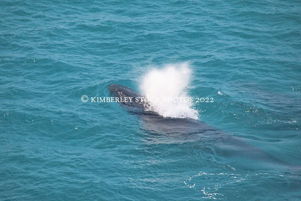 A Humpback whale (Megaptera novaeangliae) blows as it surfaces near James Price Point north of Broome on Western Australia's Kimberley coast.