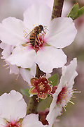 Honey bee on an Almond Blossom