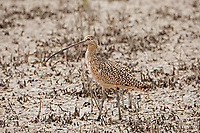 A Long Billed Curlew feeds in a northern Utah mudflat along the Great Salt Lake.