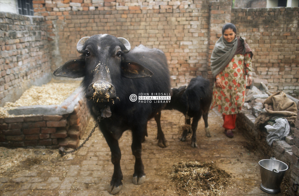 Buffalo and calf in back yard of house in Gobindigarh; Punjab; India,