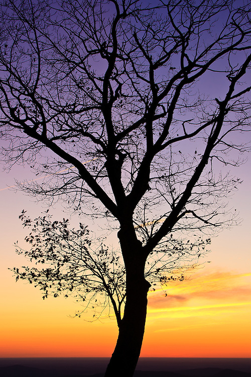 An autumn oak is silhoutted against the morning twilight, Hazel Mountain Overlook, Shenandoah National Park, Virginia.